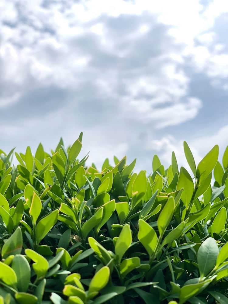 抹茶 緑茶 青汁 大麦若葉 大麦 若葉 福岡 八女 煎茶 九州産 日本 japan Green Tea mattya お茶 健康 21